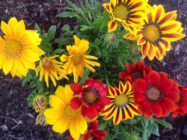 Gazania flowers! www.mytributejournal.com