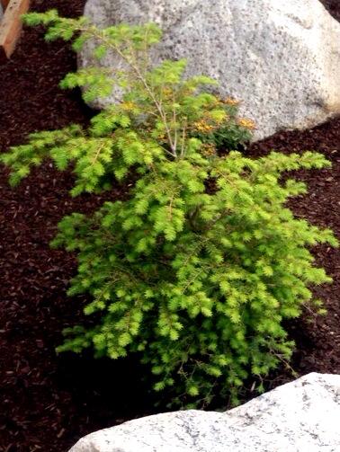 Hemlock tree www.mytributejournal.com