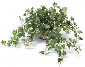 Ivy plant www.mytributejournal.com