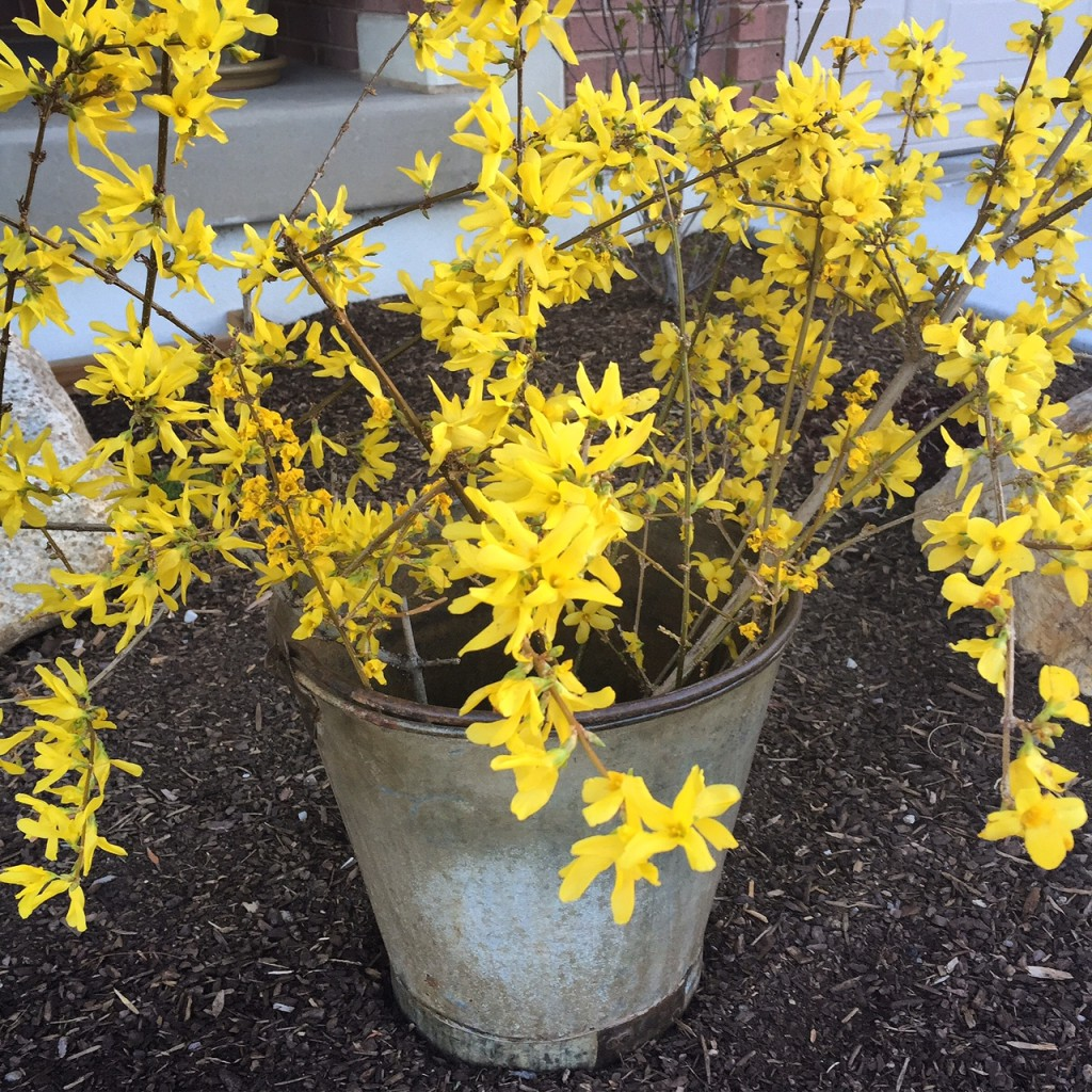 Forsythia blossoms www.mytributejournal.com