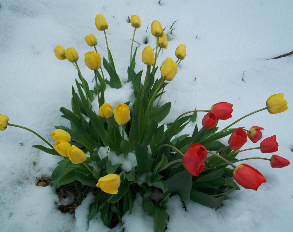 Spring snow storm  www.mytributejournal.com