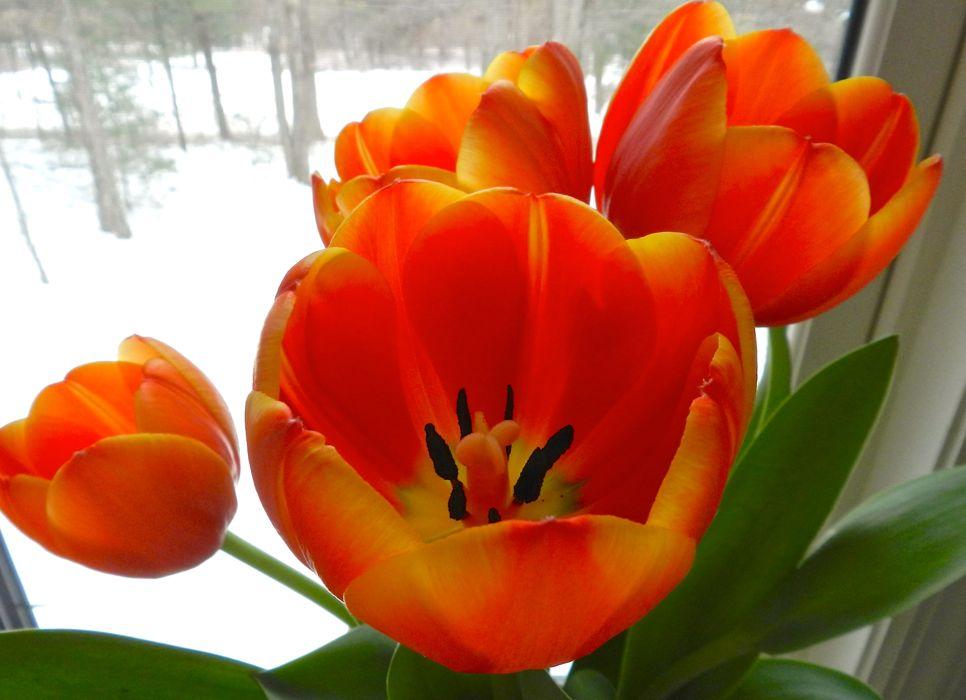 Tulips in winter.