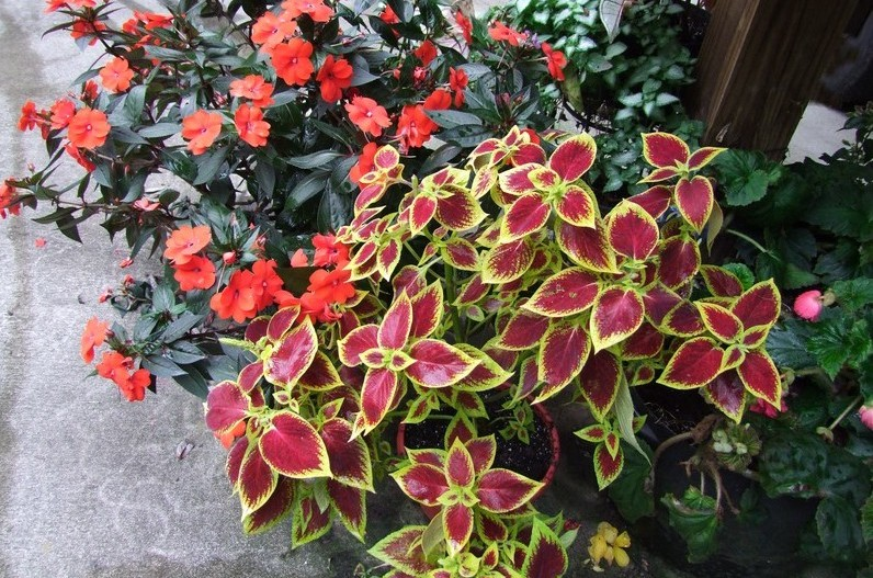 Colorful shade plants for container pots.