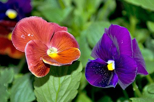 Colorful shade flowers-pansies and violas.