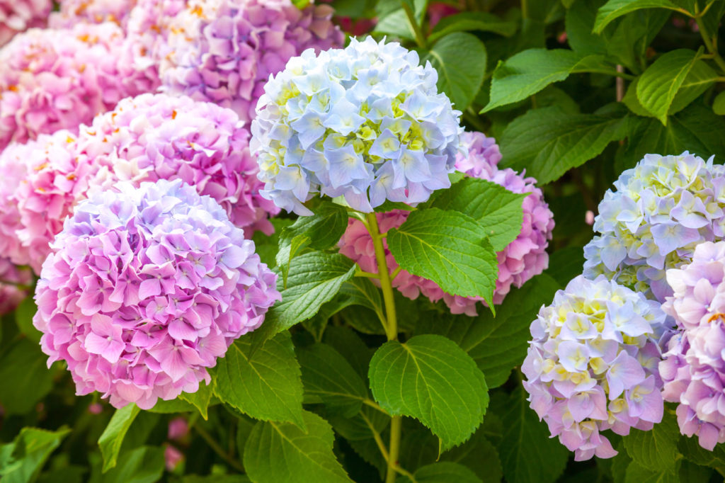 Colorful Shande flowers-hydrandeas