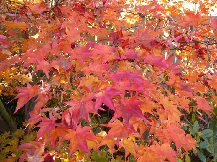 Japanese Maple in fall.