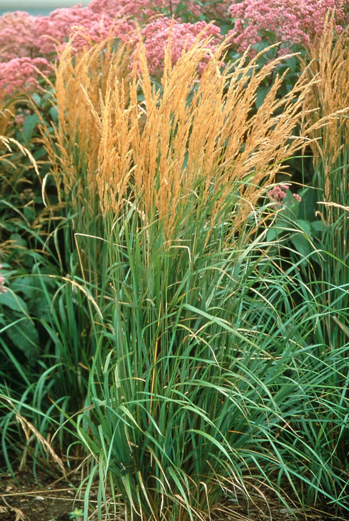 Forrester ornamental wheat gasses.