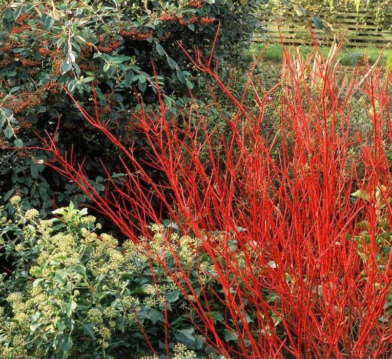 Red-dogwood-GettyImages-124763417-588a56d05f9b5874ee21073c